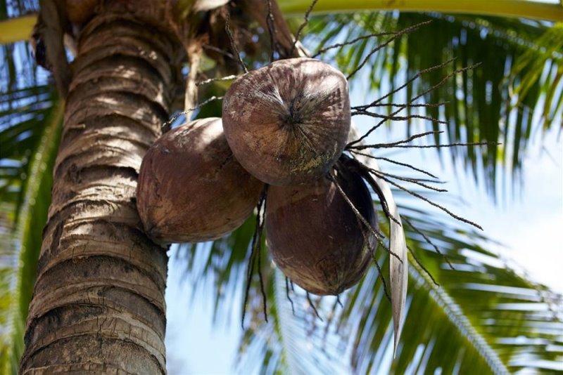 Как правильно выбрать кокос